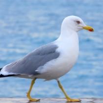 Uvođenje programa Kontrola i suzbijanje populacije galeba u Zadarskoj županiji